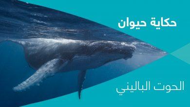 Photo of حكاية حيوان – الحلقة ١١ – الحوت الباليني